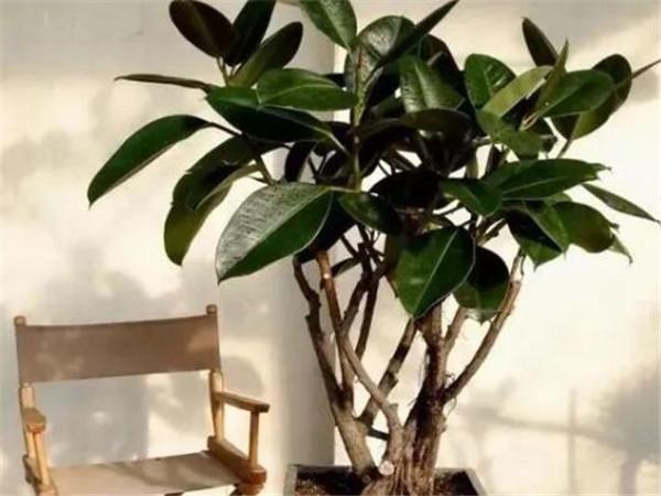 橡皮树的扦插时间和方法 橡皮树适合在室内养吗