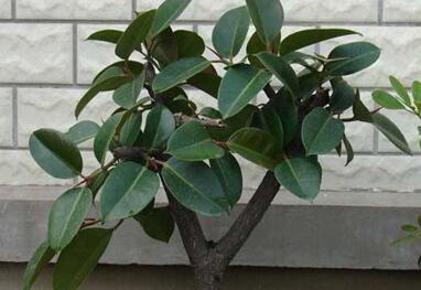 橡皮树的风水摆放 橡皮树的寓意象征
