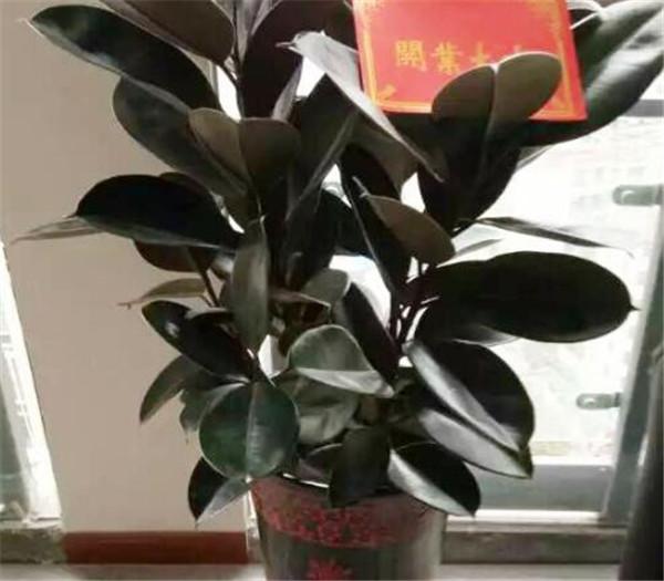 黑金刚橡皮树叶子变绿怎么办 黑金刚绿植有什么寓意