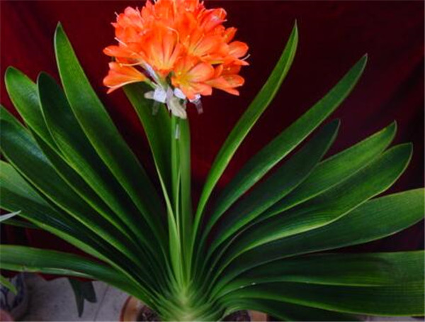 君子兰开花有什么兆头 君子兰开花的迷信说法