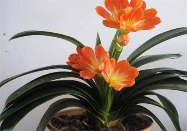 君子兰的养护方法 君子兰开花的全过程