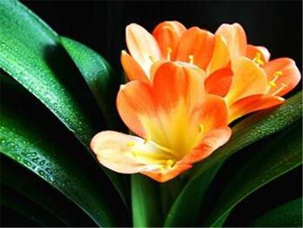 君子兰摆放位置风水讲究 适合卧室养的小型盆栽