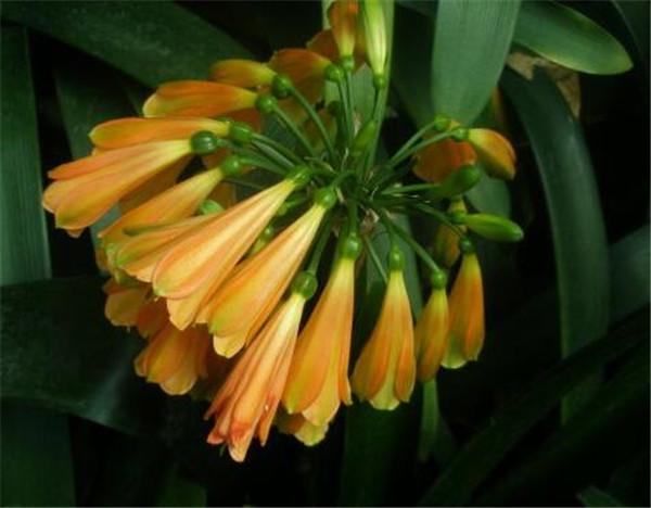 垂笑君子兰有几个品种 哪个品种的君子兰容易开花