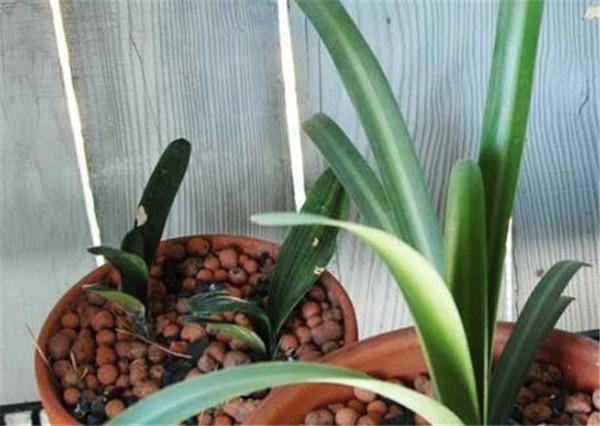 有茎君子兰几年能开花 君子兰为什么黄叶尖