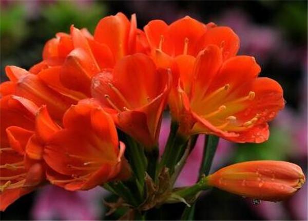 大花君子兰有哪些品种 最小的君子兰品种有哪些