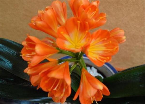大花君子兰什么时候开花 君子兰开完花多久还会开花