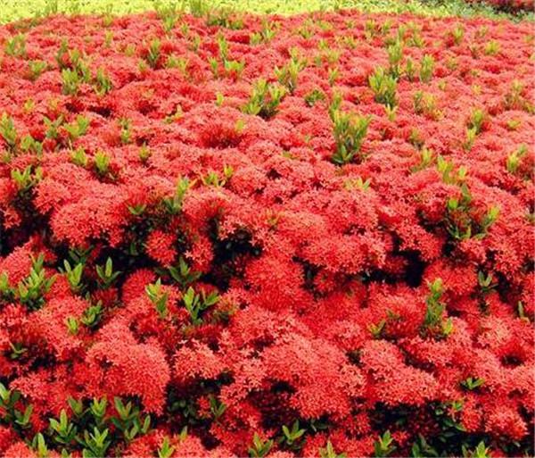 龙船花的功效与作用及禁忌 耐晒耐寒四季开花的花