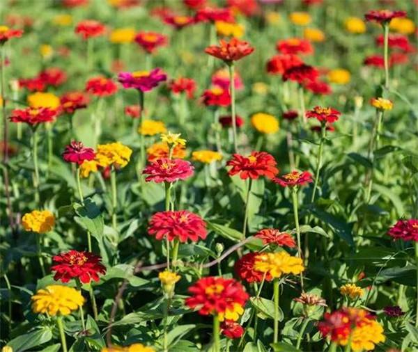 百日草种植方法和时间 百日草第二年还开花吗