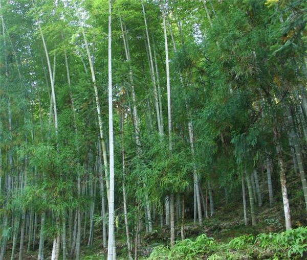毛竹笋怎么做好吃 哪个品种的竹笋最好吃