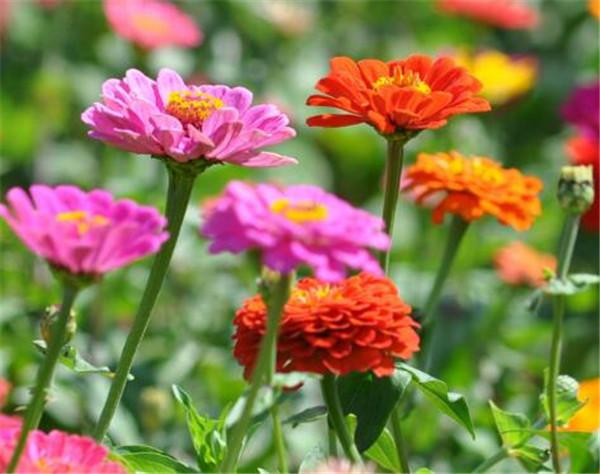 百日草怎么养护 百日草一年开几次花