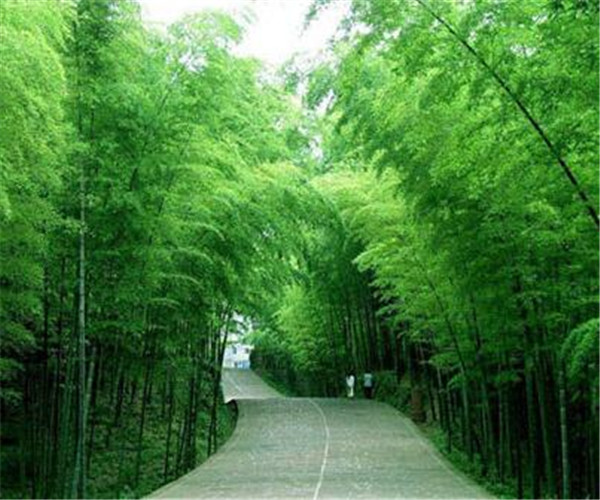 毛竹真实的生长速度 东北最耐寒的竹子有哪些