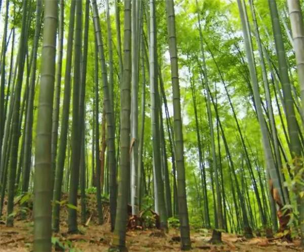 毛竹种子种植技术 毛竹盆景怎么修剪