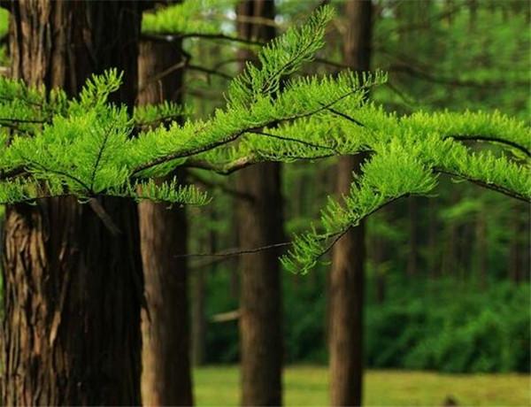 杉树价格多少钱一立方 杉树和松树的区别