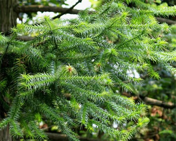 杉树有多少品种 杉树生长在什么地方