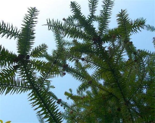 杉树盆栽放家里可以吗 杉树盆栽养殖方法