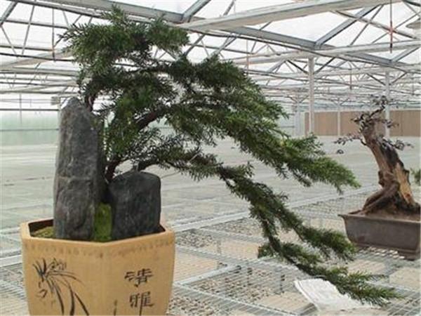 红豆杉的功效与作用 红豆杉价格多少钱一颗