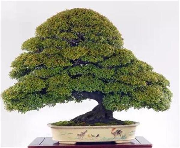红豆杉盆景怎么养 红豆杉种苗种植技术