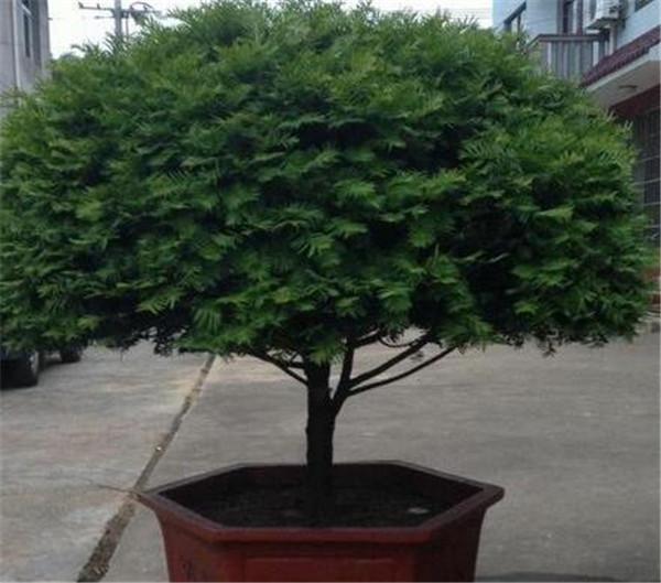 红豆杉的养殖方法和注意事项 家里养红豆杉不吉利吗