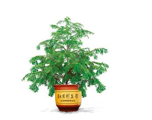 红豆杉怎么修剪整形 红豆杉6月份可以剪枝吗