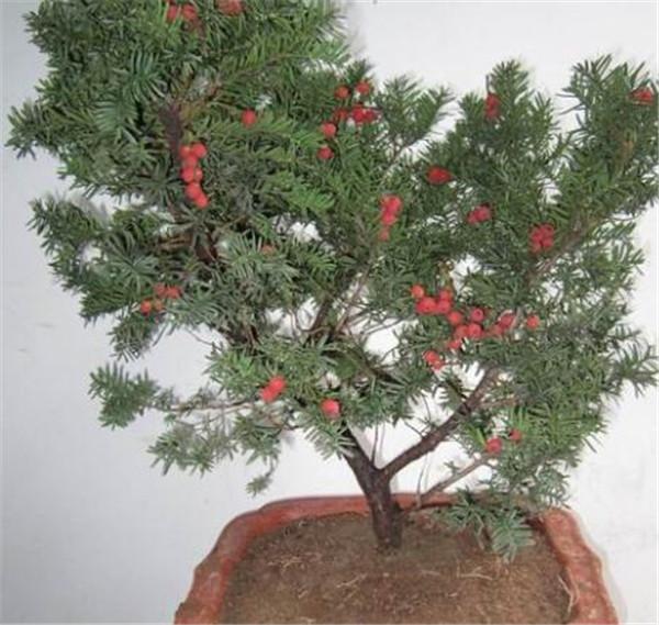 红豆杉私人种一棵犯法吗 红豆杉最贵是哪一品种