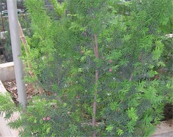 曼地亚红豆杉什么时候开花结果 曼地亚红豆杉是乔木还是灌木