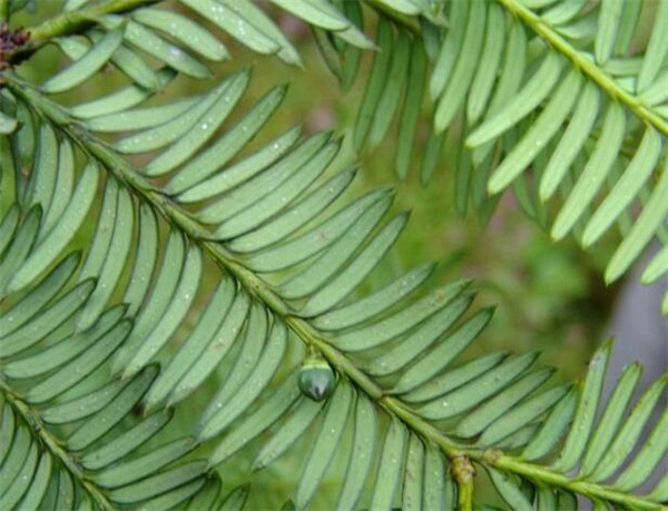 南方红豆杉的养殖方法和注意事项 红豆杉夏季室内怎么养