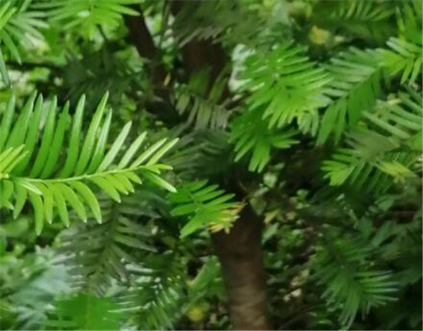 南方红豆杉和红豆杉的区别 红豆杉木泡水喝的危害