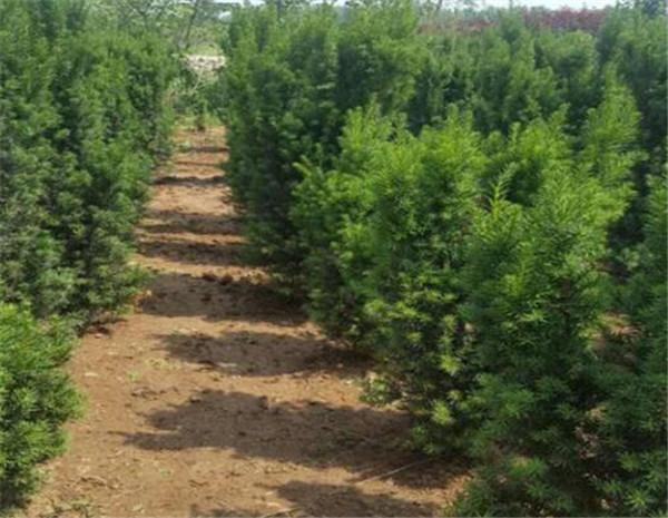 北方红豆杉和南方红豆杉的区别 北方红豆杉树的功效与作用