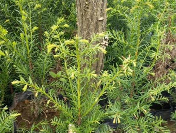 北方红豆杉树养几年能结果 红豆杉是南方的好还是北方的好