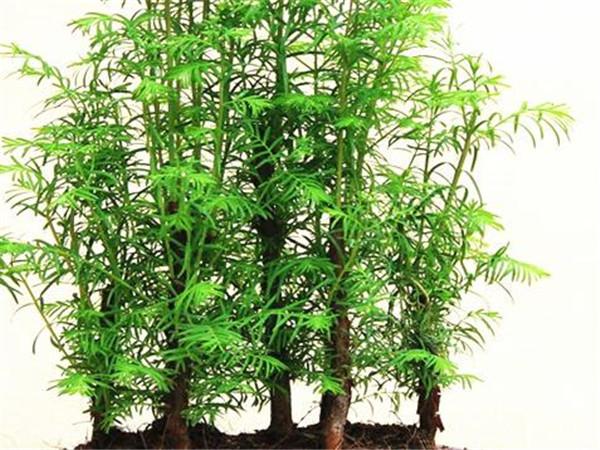水杉树价格多少钱一颗 水杉树苗的种植方法