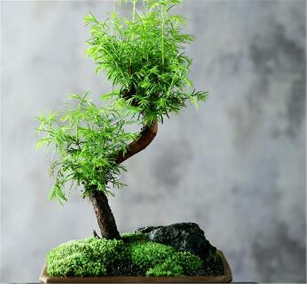 水杉移栽注意事项 水杉的资料名称图片大全