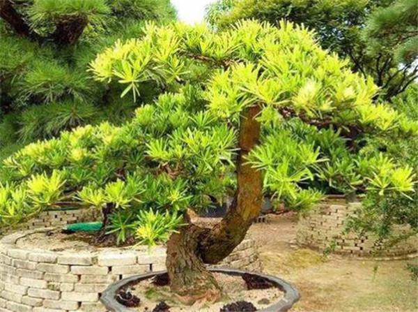 水杉盆景可以室内养吗 水杉叶子发黄是什么原因