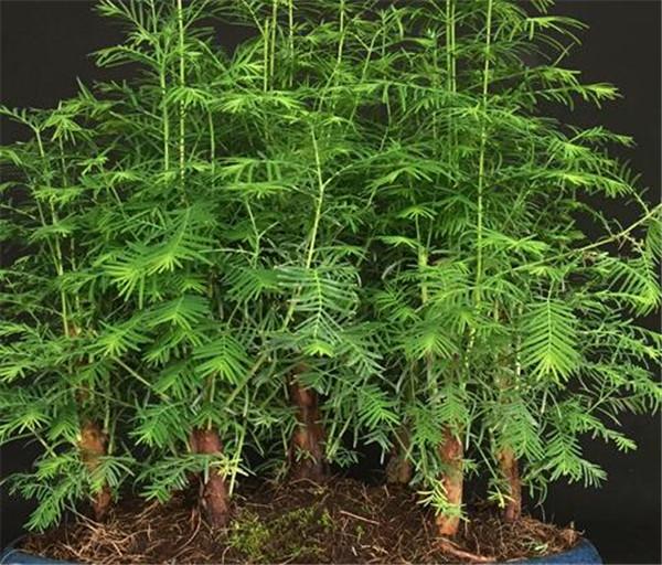 水杉干叶子如何补救 水杉盆景用什么土最好