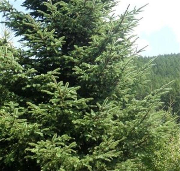 云杉生长速度怎么样 云杉树能长多高