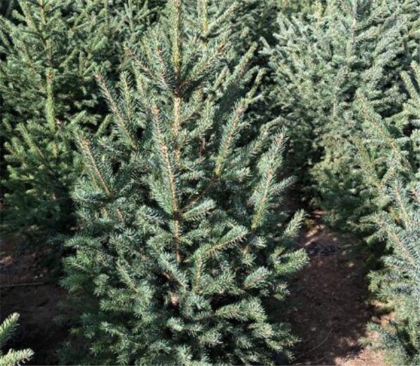 云杉育苗移栽株行距多少合适 云杉种子种植技术