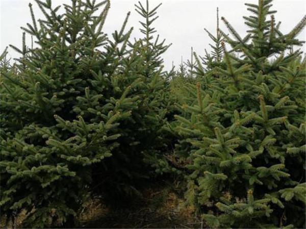云杉树苗价格多少钱一棵 云杉有几个品种