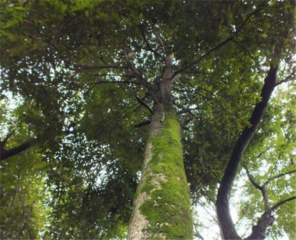 云杉木多少钱一方 云杉木和松木哪个好