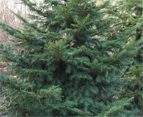 冷杉木的优缺点 冷杉树的寓意和象征