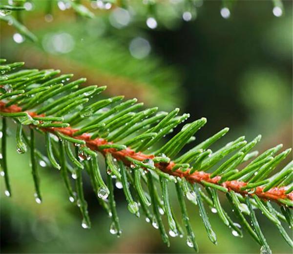 冷杉是保护植物吗 冷杉树的生长环境