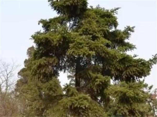 日本冷杉常绿还是落叶 日本冷杉为什么珍贵