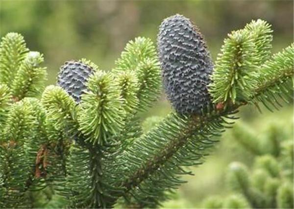 臭冷杉与沙冷杉的区别 臭冷杉园林用途