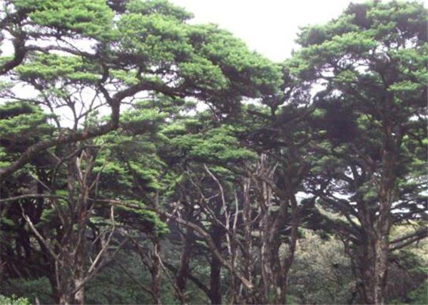 银杉产地分布在哪里 云杉和银杉的区别