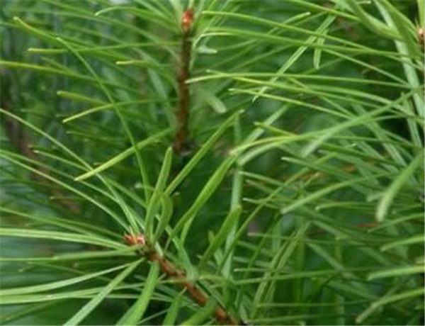 银杉的保护级别 银杉如何繁殖