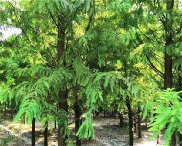 落羽杉和水杉区别 园林绿化十大名贵苗木