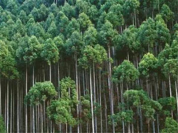 柳杉原木多少钱一方 柳杉木材用途和特点