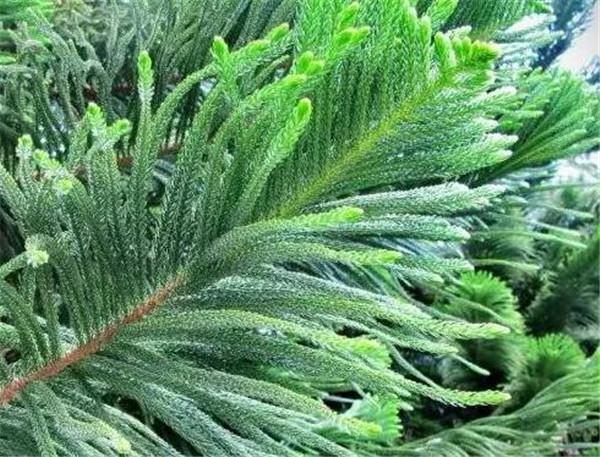 南洋杉盆景的养殖方法 南洋杉盆景叶子干枯怎么办