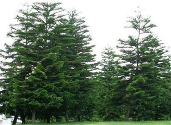 南洋杉寓意什么风水 南洋杉和榉木哪个好