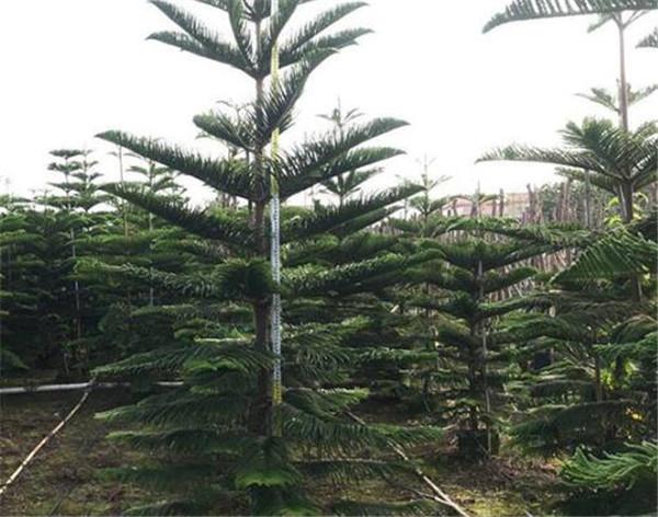 南洋杉叶子枯萎下垂怎么办 盆栽南洋杉修剪方法图解