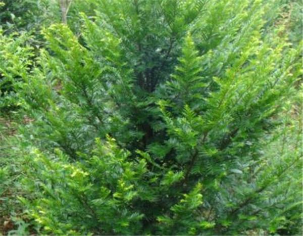 紫杉树寓意是什么 紫杉树在中国哪些地方有