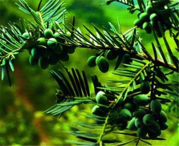 三尖杉的功效与作用 三尖杉的与香榧树的区别
